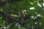 White-Faced Capuchin Monkey (Cebus capucinus) [costa_rica_la_selva_0390]