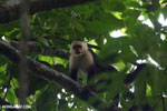White-Faced Capuchin Monkey (Cebus capucinus) [costa_rica_la_selva_0391]