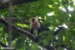 White-Faced Capuchin Monkey (Cebus capucinus) [costa_rica_la_selva_0392]