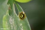 Tortoise beetle [costa_rica_la_selva_0394]