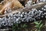 White fungi [costa_rica_la_selva_0403]