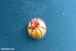 Magenta and yellow spider on a yellow egg sac [costa_rica_la_selva_0427]