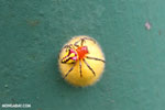 Magenta and yellow spider on a yellow egg sac [costa_rica_la_selva_0429]