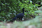 Male Great Curassow (Crax rubra)