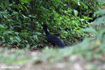 Great Curassow (Crax rubra) [male] [costa_rica_la_selva_0441]