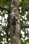 Squirrel [costa_rica_la_selva_0443]