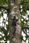 Squirrel [costa_rica_la_selva_0444]