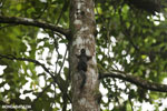 Squirrel [costa_rica_la_selva_0445]
