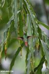 Hummingbird [costa_rica_la_selva_0455]