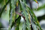 Hummingbird [costa_rica_la_selva_0457]