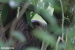 Three-toed sloth [costa_rica_la_selva_0463]