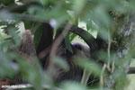 Three-toed sloth [costa_rica_la_selva_0466]