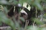 Three-toed sloth [costa_rica_la_selva_0470]