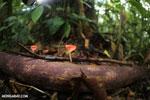 Red cup fungi (Cookeina speciosa) [costa_rica_la_selva_0485]