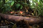 Red cup fungi (Cookeina speciosa) [costa_rica_la_selva_0487]
