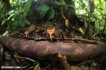 Red cup fungi (Cookeina speciosa) [costa_rica_la_selva_0490]