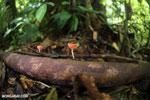 Red cup fungi (Cookeina speciosa) [costa_rica_la_selva_0493]