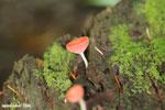 Red cup fungi (Cookeina speciosa) [costa_rica_la_selva_0495]