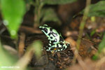 Green-and-black poison dart frog [costa_rica_la_selva_0496]