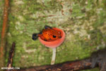 Strawberry dart frog in a red cap mushroom [costa_rica_la_selva_0509]