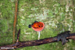 Strawberry dart frog in a red cap mushroom [costa_rica_la_selva_0514]