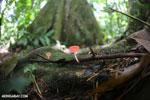 Red cup fungi (Cookeina speciosa) [costa_rica_la_selva_0519]