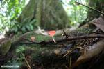 Red cup fungi (Cookeina speciosa) [costa_rica_la_selva_0520]