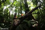 Red cup fungi (Cookeina speciosa) [costa_rica_la_selva_0524]