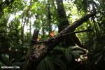Red cup fungi (Cookeina speciosa) [costa_rica_la_selva_0527]