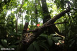 Red cup fungi (Cookeina speciosa) [costa_rica_la_selva_0528]