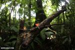 Red cup fungi (Cookeina speciosa) [costa_rica_la_selva_0529]