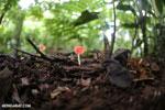Red cup fungi (Cookeina speciosa) [costa_rica_la_selva_0534]
