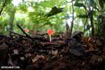 Red cup fungi (Cookeina speciosa) [costa_rica_la_selva_0535]
