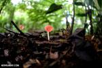 Red cup fungi (Cookeina speciosa) [costa_rica_la_selva_0537]