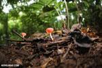 Red cup fungi (Cookeina speciosa) [costa_rica_la_selva_0538]