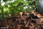 Red cup fungi (Cookeina speciosa) [costa_rica_la_selva_0539]