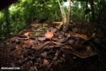 Red cup fungi (Cookeina speciosa) [costa_rica_la_selva_0544]