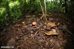 Red cup fungi (Cookeina speciosa) [costa_rica_la_selva_0546]