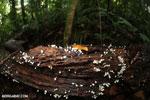 Red cup fungi (Cookeina speciosa) [costa_rica_la_selva_0547]