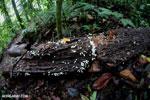 White mushrooms [costa_rica_la_selva_0550]