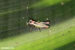 Grasshopper [costa_rica_la_selva_0563]