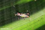 Grasshopper [costa_rica_la_selva_0565]