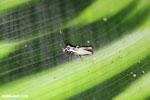 Grasshopper [costa_rica_la_selva_0566]