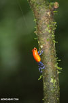 Strawberry dart frog [costa_rica_la_selva_0568]