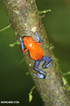 Strawberry dart frog [costa_rica_la_selva_0571]