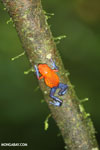 Strawberry dart frog [costa_rica_la_selva_0572]