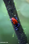 Strawberry dart frog [costa_rica_la_selva_0576]
