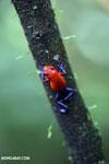 Strawberry dart frog [costa_rica_la_selva_0576]