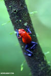 Strawberry dart frog [costa_rica_la_selva_0577]