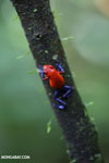 Strawberry dart frog [costa_rica_la_selva_0578]